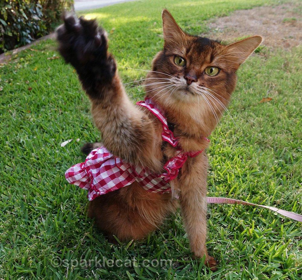 somali cat in cat dress waving good-bye