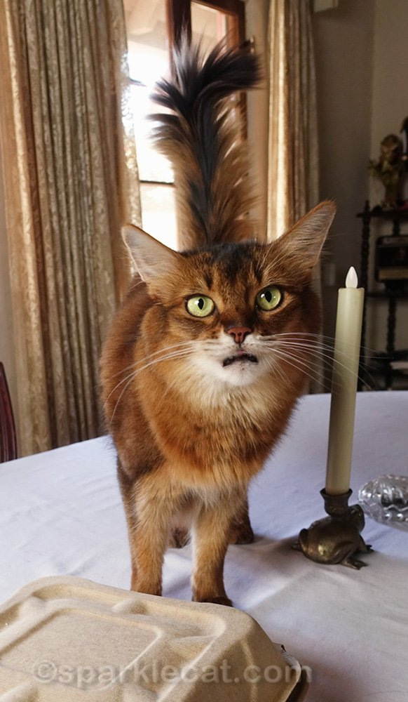 Somali cat with a very small sliver of tongue sticking out