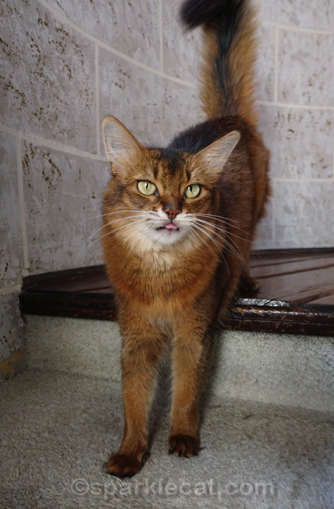 Somali cat sticking out a sliver of tongue