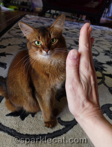 somali cat with human trying to get her to do a High Five