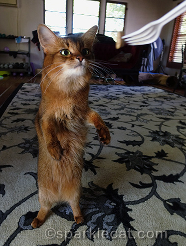 somali cat standing up for a treat