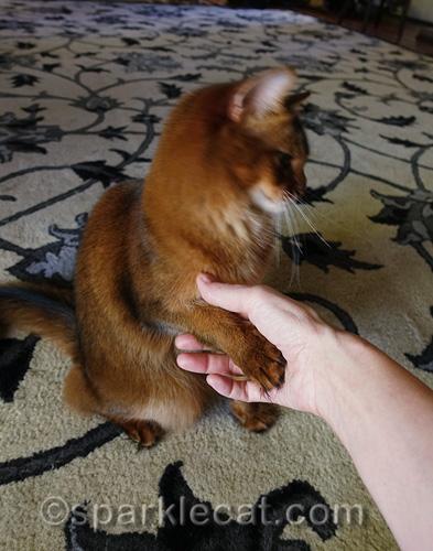 somali cat lightly giving her human a handshake