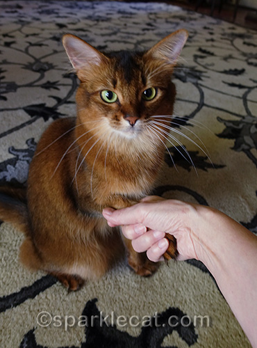 somali cat getting a firm handshake from her human