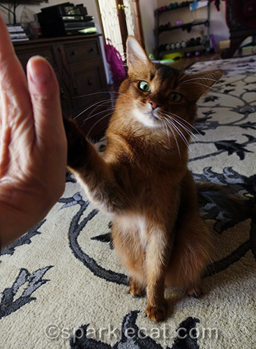 somali cat giving her human a big high five, one of her many cat tricks