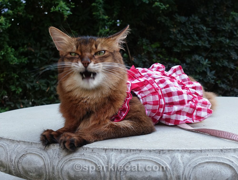 somali cat in gingham dress, making a face