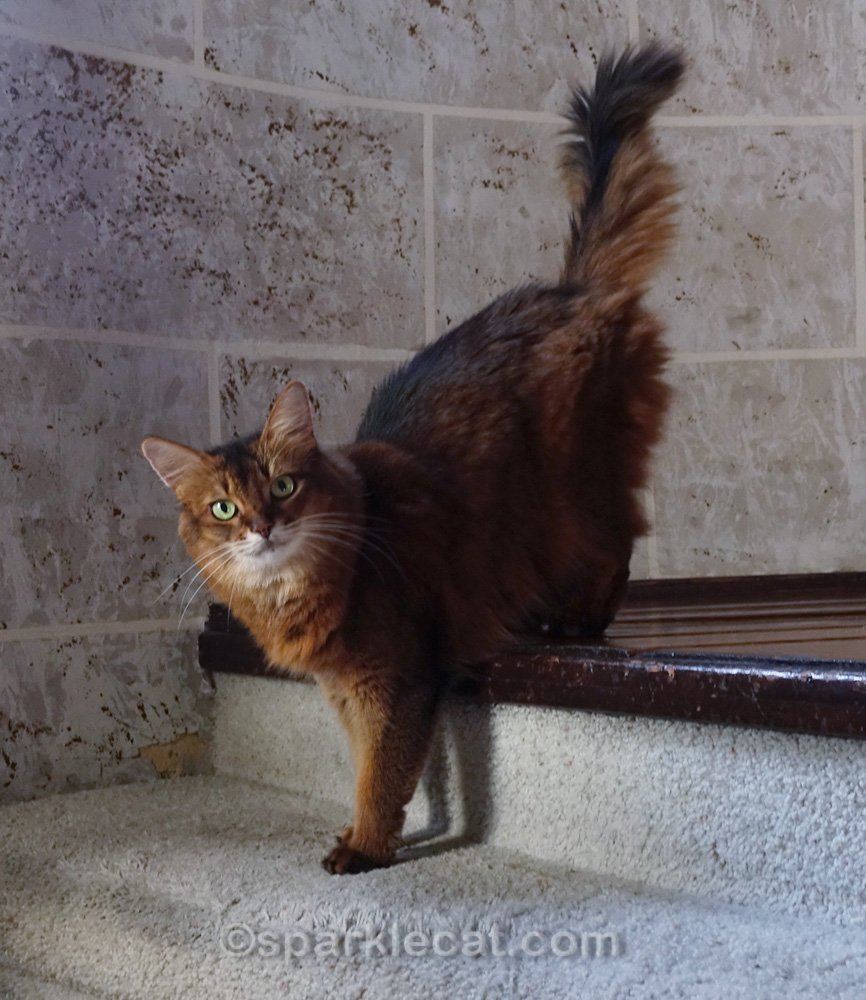somali cat with front paws on stair step in turret