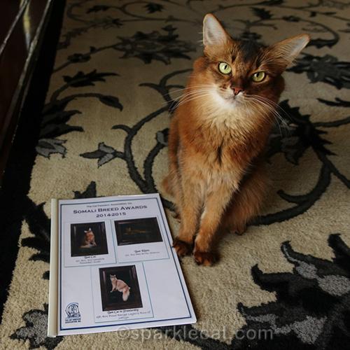 somali cat with CFA Somali breed awards booklet
