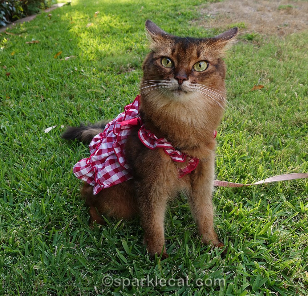 somali cat in gingham dress, with airplane ears