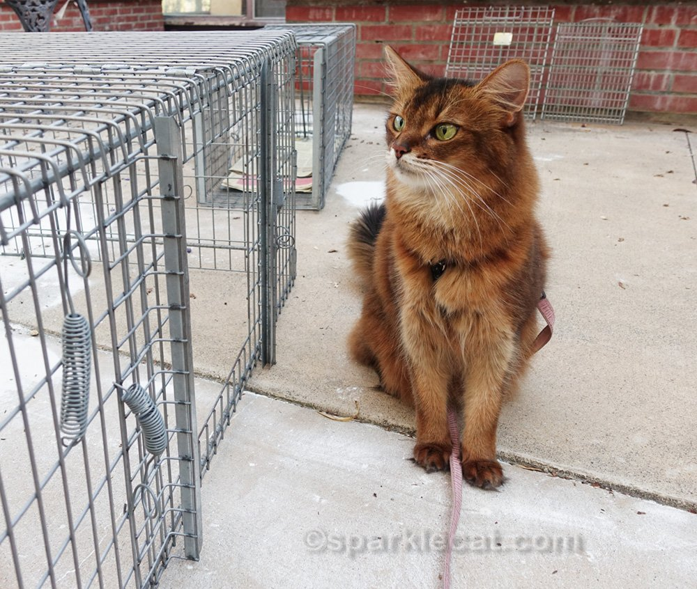 Somali cat looking at cat trap cages