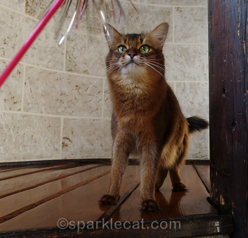Somali cat getting ready to attack toy