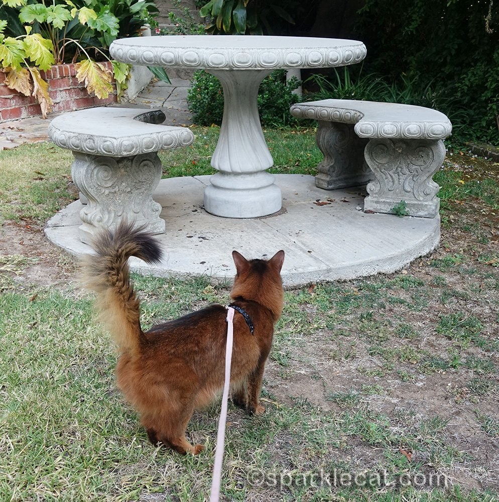 somali cat looking at outdoor table with new base