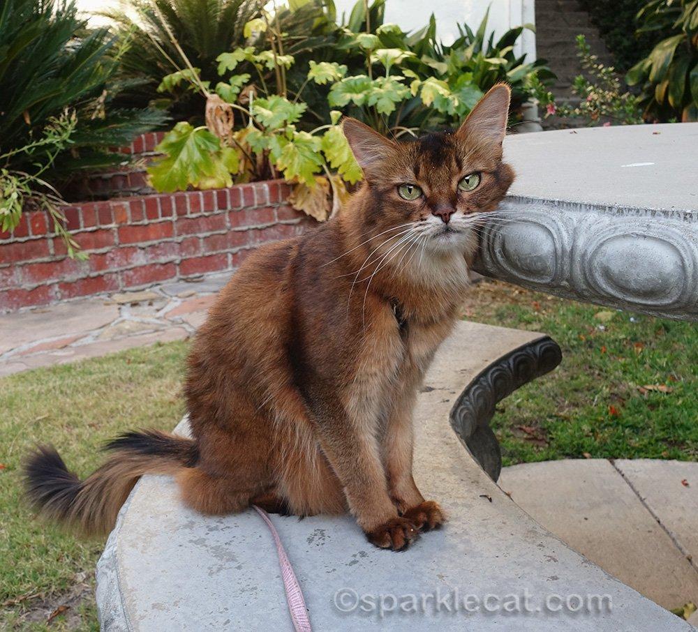 somali cat rubbing against concrete table