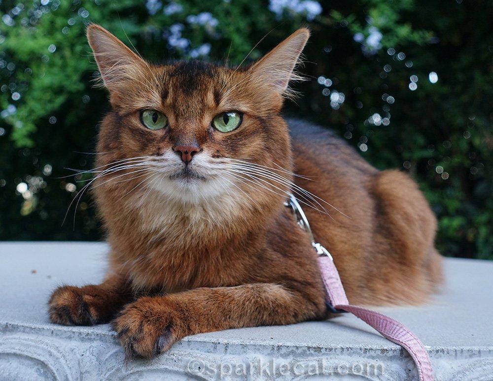 somali cat on concrete table