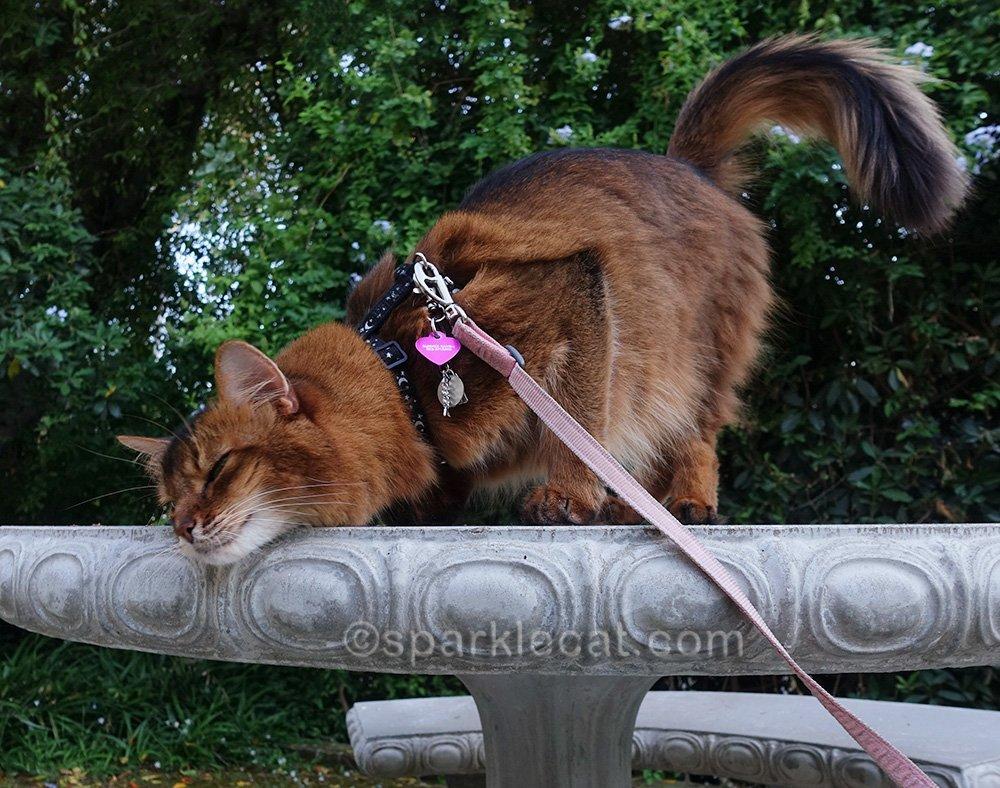 Somali cat still rubbing on concrete table top