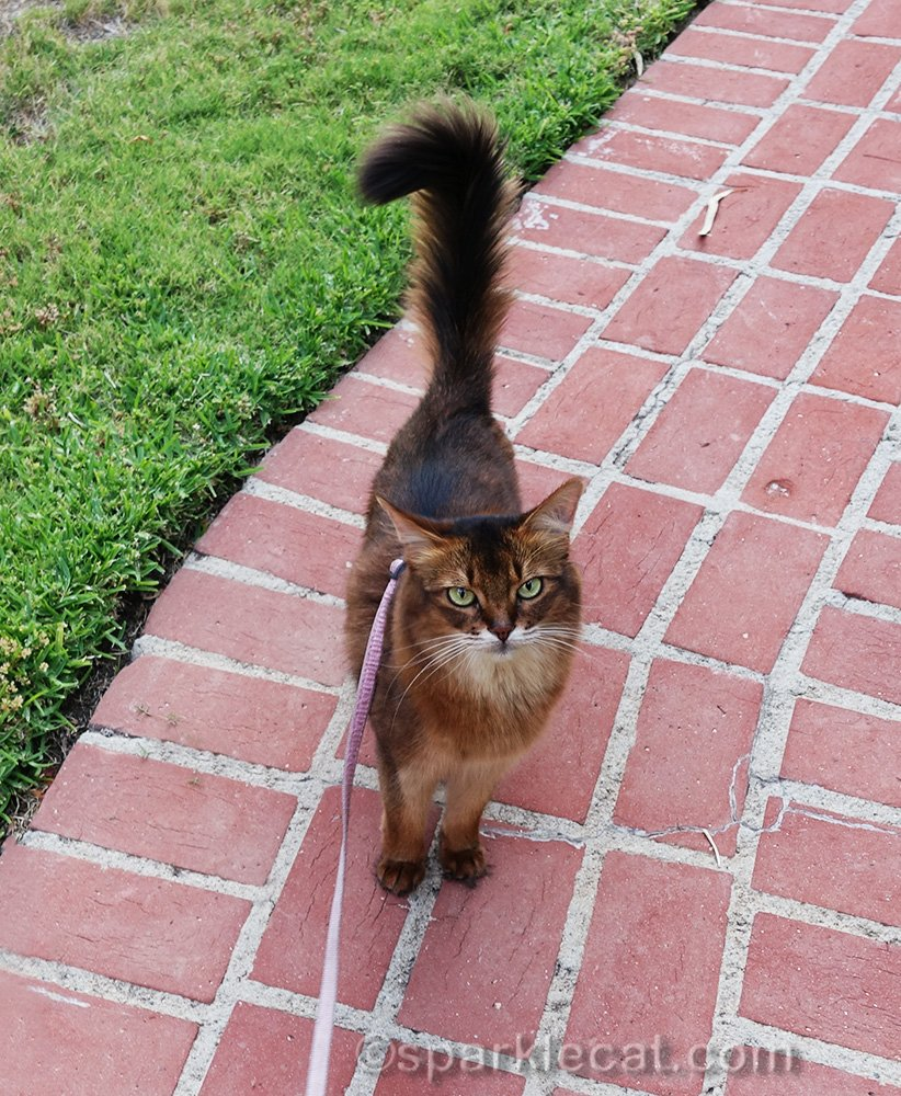 somali cat on front walkway