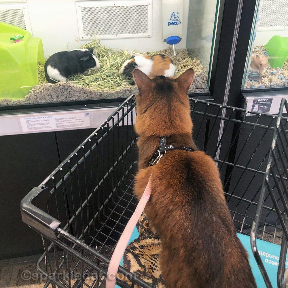 Somali cat looking at Guinea pigs at pet store