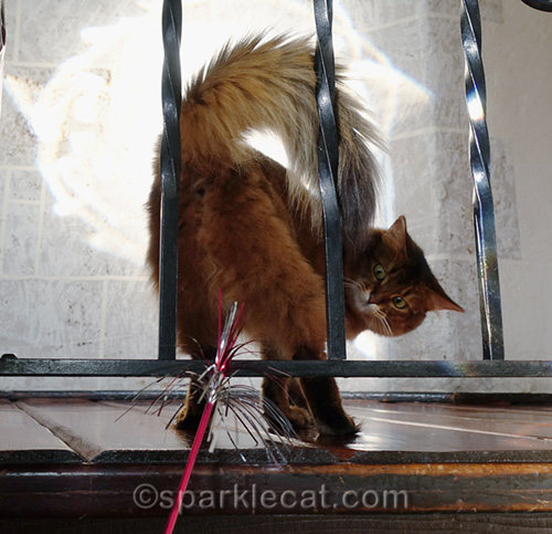 somali cat playing, shot from behind