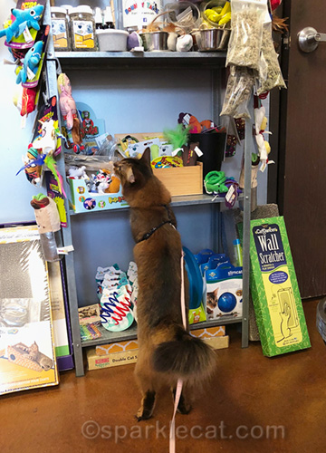 Somali cat at pet store toy section