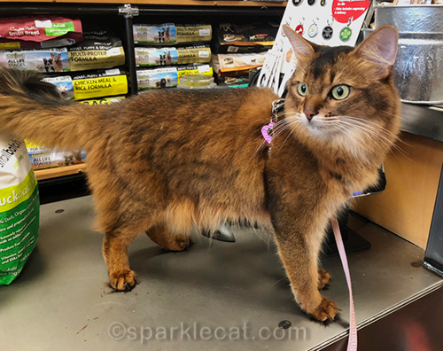 somali cat on counter of pet store
