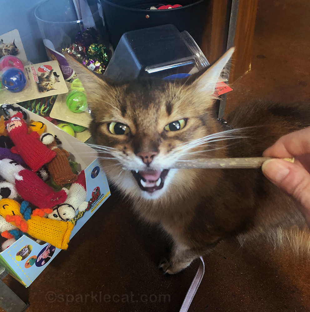 somali cat biting down on silver vine stick