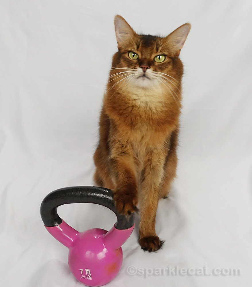 Somali cat with paw on a pink kettlebell