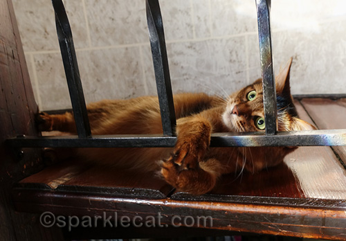 somali cat being playful in turret