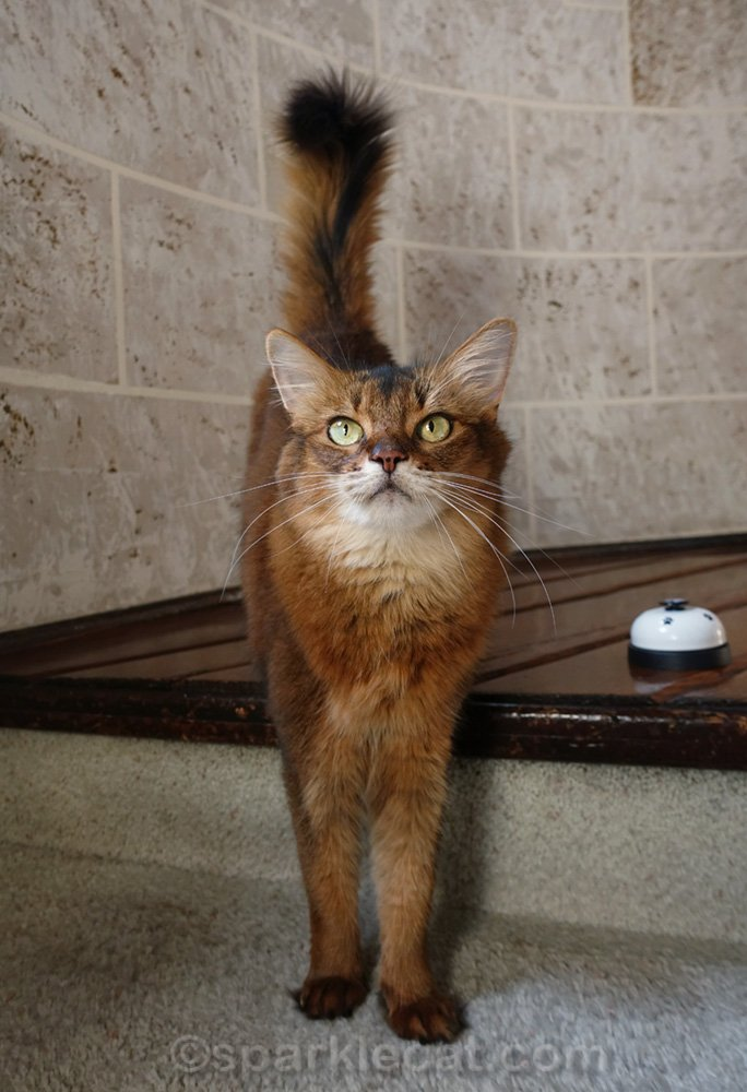 Somali cat with front paws on stairs and desk bell on her left