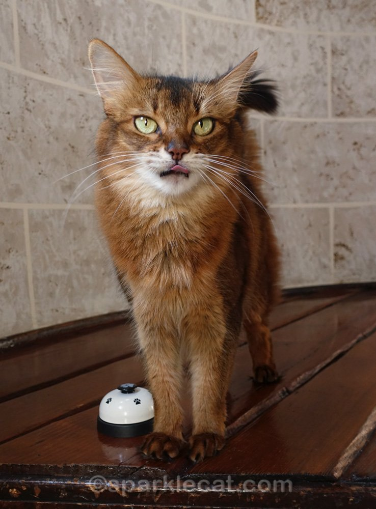 Somali cat sticking out tongue during trick practice