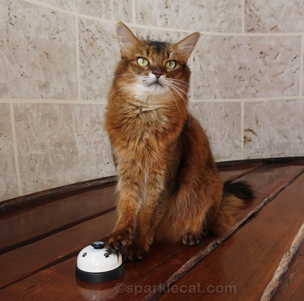 somali cat with paw on desk bell