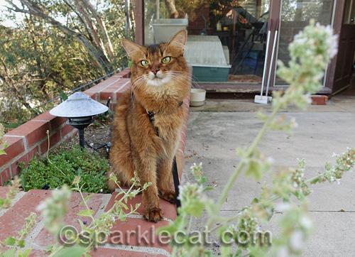 somali cat sitting near planter of catnip