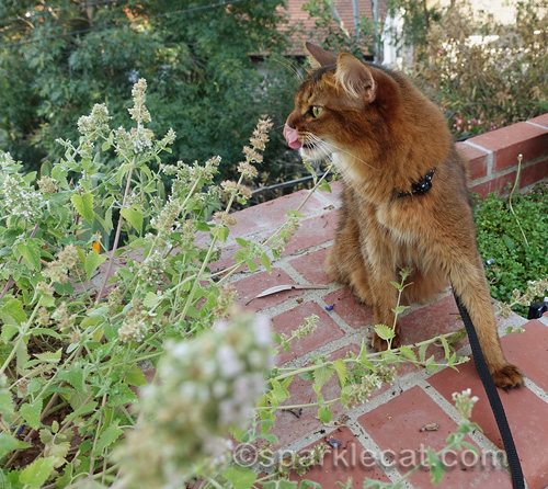 somali cat licks her nose as she looks at catnip plants