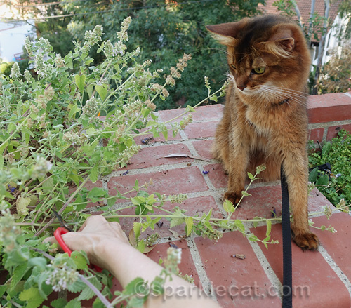 somali cat supervises as her human cuts back the catnip