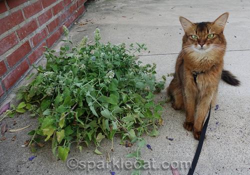 somali cat sitting next to her catnip harvest