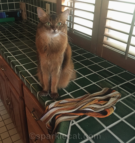 somali cat on bathroom counter with scarf