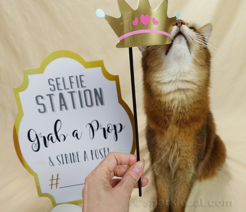 somali cat rubbing face on a crown selfie prop