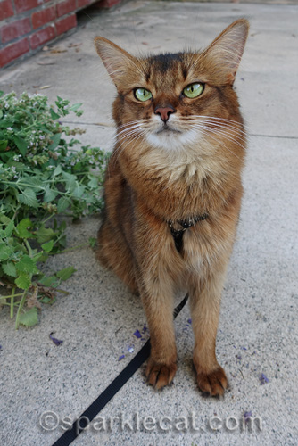somali cat sitting by harvested catnip