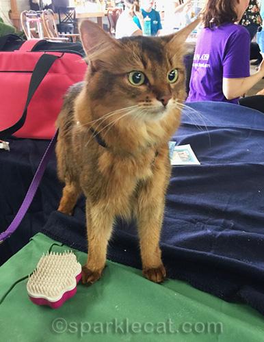 somali cat with plastic brush