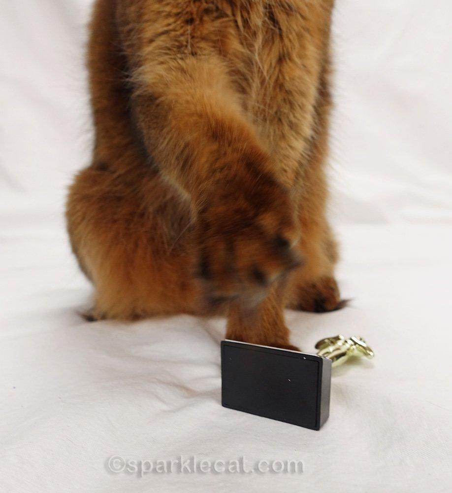somali cat knocked over Oscar