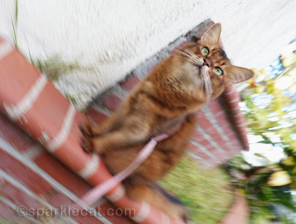 accidental photo of somali cat outside