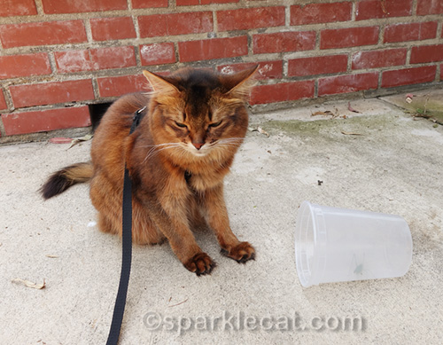 somali cat after katydid jumped on her face