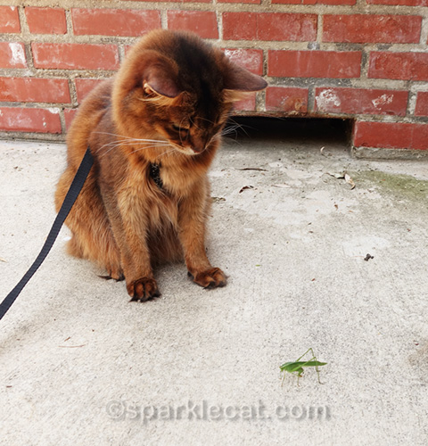 somali cat looking at katydid