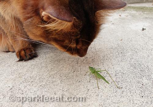 somali cat looking close up at katydid
