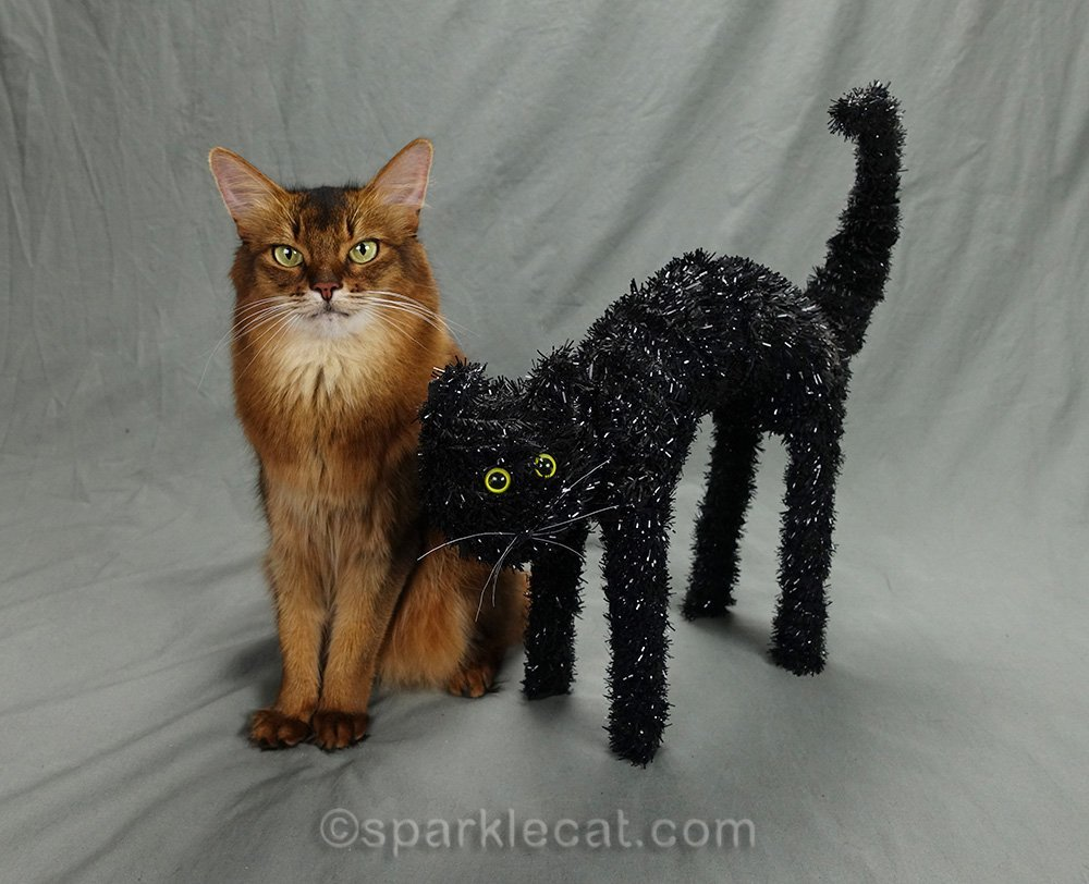 somali cat poses during prop audition