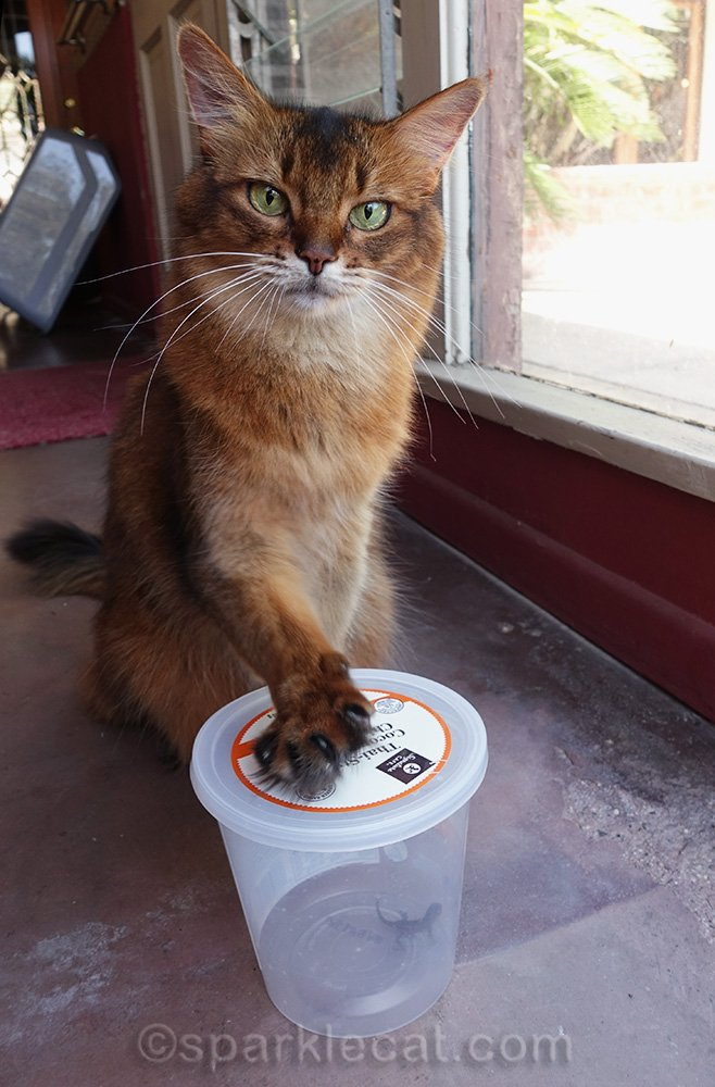 somali cat with paw on plastic container with lizard in it