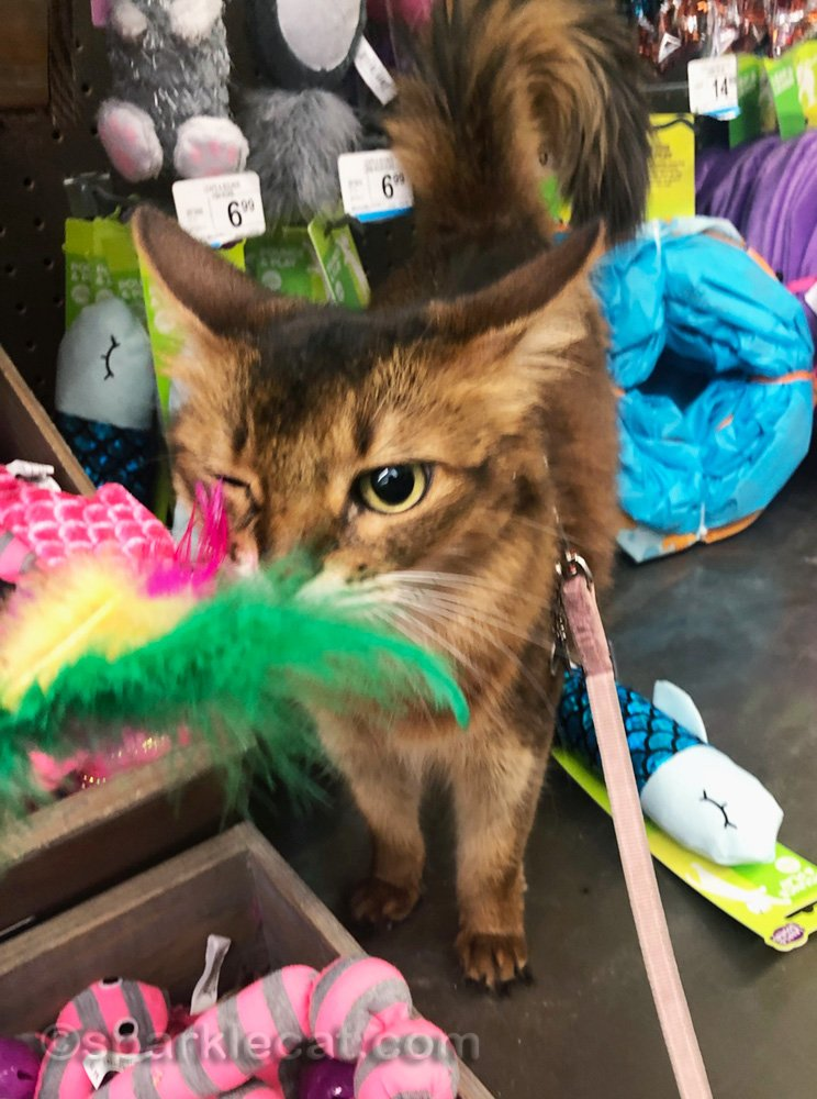 Somali cat with a feather cat toy tickling one eye