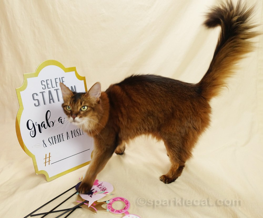 Somali cat stepping all over photo props during photo session