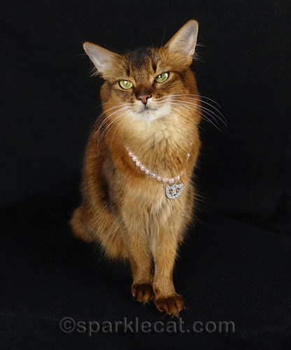 somali cat smiling with cat necklace