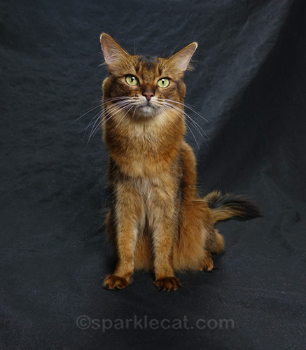 somali cat posing during a photo session