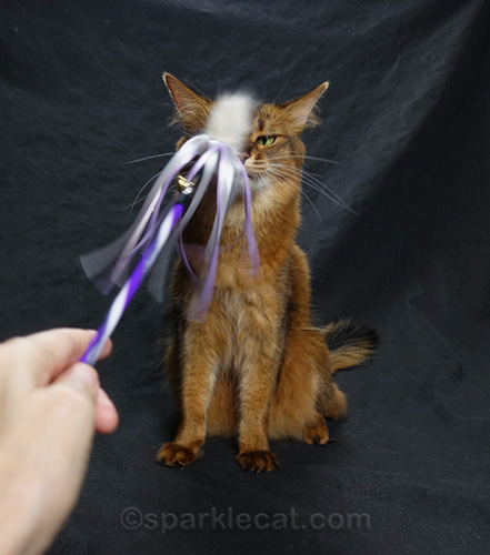 annoyed somali cat with hand in shot
