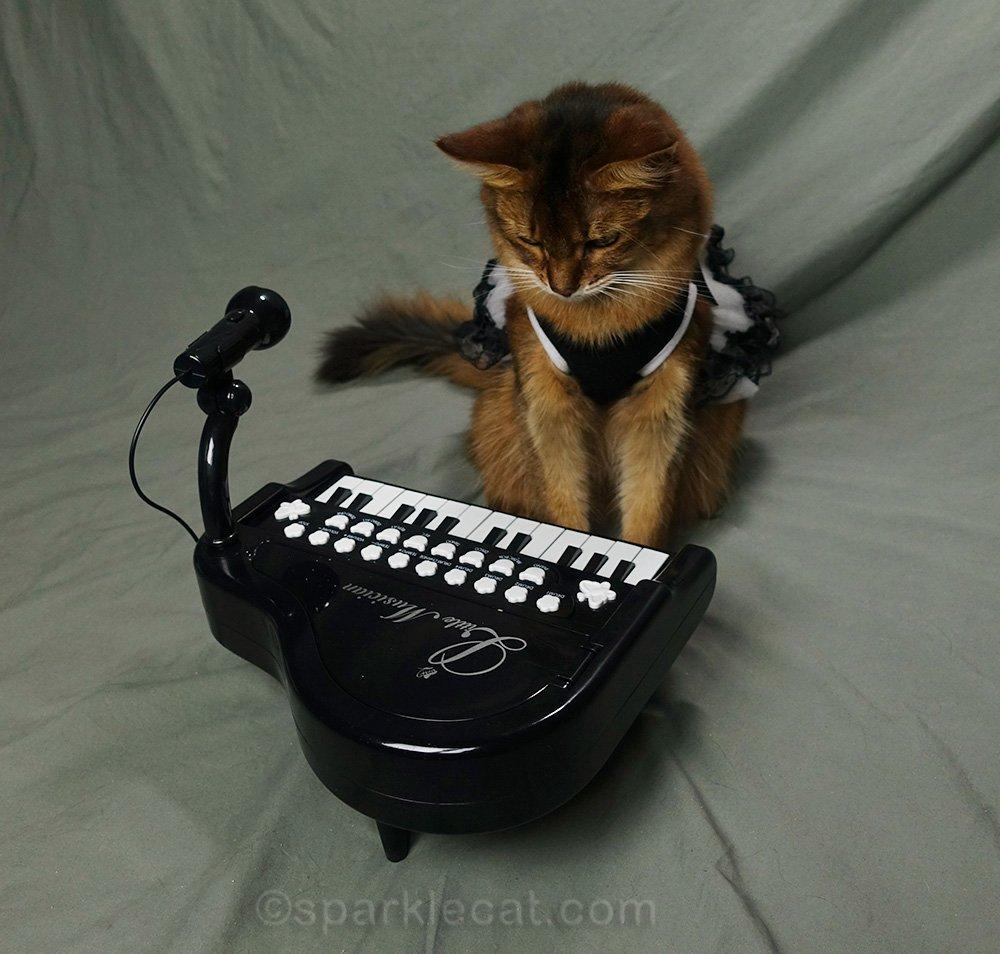 somali cat looking down at piano keyboard